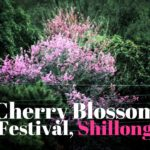 India International Cherry Blossom Festival, Shillong